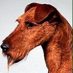 Red Wire Irish terrier